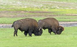 Bison Grazing in the Black Hills. Of South Dakota in Wind Cave National Park Royalty Free Stock Photography