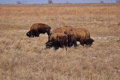 Bison Grazing during Colorado Winter Stock Photo