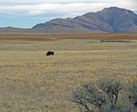 Bison Grazing dans le domaine au PS d'île d'antilope images libres de droits