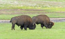 Bison Grazing in de Zwarte Heuvels royalty-vrije stock fotografie