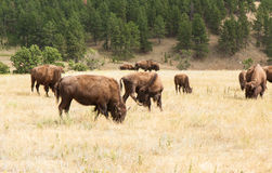 Bison Grazing Stock Images