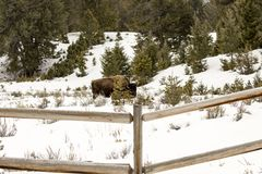 Bison grazing in fenced field in Yellowstone National Park, Wyom Stock Photography