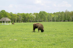 Bison grazing in the field Stock Images