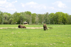 Bison grazing in the field Royalty Free Stock Photography