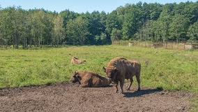 Bison grazing in field Stock Photo