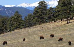 Bison grazing on hillside Royalty Free Stock Images