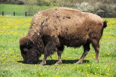 Bison grazing in the meadow Royalty Free Stock Photos