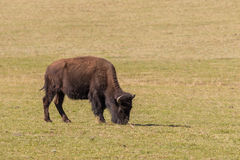 Bison Grazing Royalty Free Stock Images