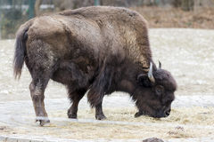 A bison grazing in the meadow Royalty Free Stock Images