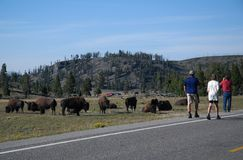 Bison grazing near the road Royalty Free Stock Image