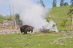 Bison grazing near a thermal geyser in Yellowstone National Park. Royalty Free Stock Images