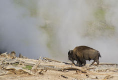 Bison grazing near a thermal geyser in Yellowstone National Park. Stock Photos