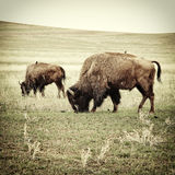 Bison grazing old photo Royalty Free Stock Photos
