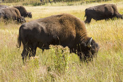 Bison grazing, one close, four far, Hayden Valley, Yellowstone, Stock Photography
