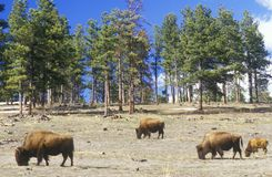 Bison grazing outside of Denver, CO Stock Photo