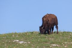 Bison Grazing på en kulle arkivbild