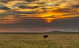A Bison Grazing on the Prairie at Sunrise stock image