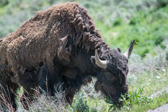 Bison Grazing by the Roadside stock photo