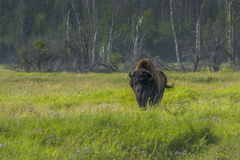 Bison grazing Russia Royalty Free Stock Photos