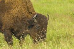 Bison grazing Russia Stock Photo