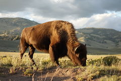 Bison grazing. At sunset in Yellowstone National Park Royalty Free Stock Photo