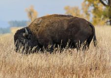 Bison in the tall grass. Bison grazing in the tall meadow grass Grand Teton National Park royalty free stock images