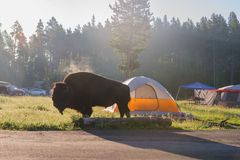 Bison grazing in Yellowstone Royalty Free Stock Images