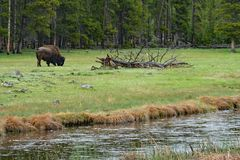 Bison Grazing in Yellowstone royalty free stock image