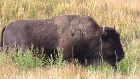 Bison Grazing stock video