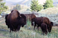 Bison grazing in Yellowstone National park Stock Image