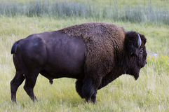 Bison grazing in Yellowstone National park Stock Images