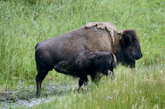 Bison grazing in Yellowstone National park Royalty Free Stock Photography