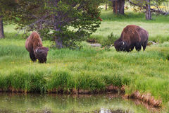 Bison grazing in Yellowstone National Park Stock Photo