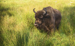 Bison in the green grass on a summer day Royalty Free Stock Image