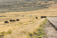 Bison group attempting to cross road Royalty Free Stock Photo