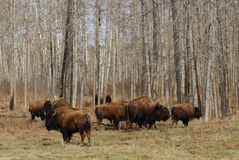 Bison group in park Stock Photo