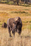 Bison Grunting Royalty Free Stock Photo