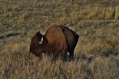 Bison Royalty Free Stock Photos