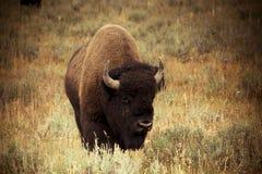 Bison in Hayden Valley stockfotografie