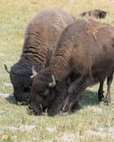 Bison in Hayden Valley in Yellowstone National Park. Two bison grazing in Yellowstone National Park. A male on the left and a female on the right stock images