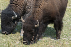 Bison in Hayden Valley in Yellowstone National Park. Two bison grazing in Yellowstone National Park. A male on the left and a female on the right royalty free stock photography