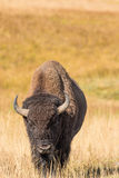 Bison Head On royaltyfria foton