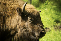 Bison head close up Stock Images