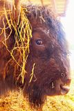 Bison head. Close-up stock image