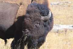 Bison Head Shot-Grazing Lizenzfreies Stockbild