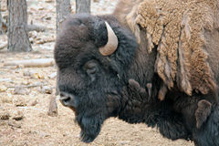 Bison head and shoulders. Bearded shedding Buffalo showing head and shoulders Stock Photo