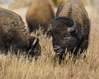 Bison heads together. Bison male and female with their heads buried in the tall grass royalty free stock photo