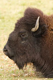 Bison Headshot Profile Stockfoto