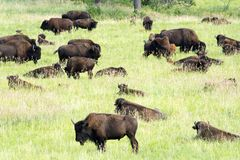 Bison Heard em Black Hills South Dakota foto de stock