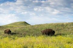 Bison Heard på Black Hills arkivfoton